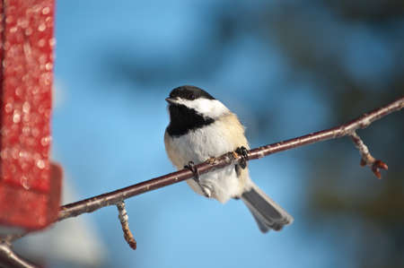 A Black-capped Chickadee (Poecile atricapillus) perches on a branch with blue sky in the background.