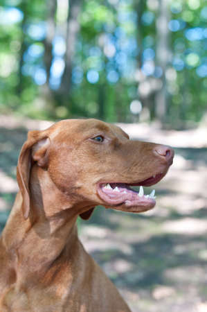 hungarian pointer: A close-up shot of a Vizsla dog (Hungarian pointer) in the woods. Stock Photo