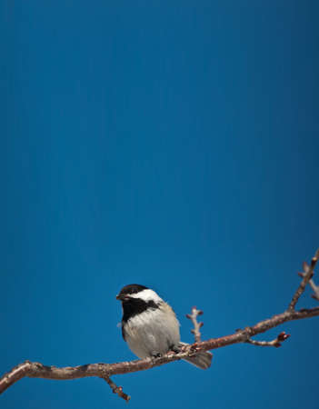 A Black-capped Chickadee holds a seed in its mouth while perching on a branch. Stock Photo