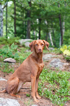 hungarian pointer: A female Vizsla dog sits in a wooded area. Stock Photo