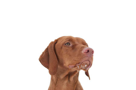 hungarian pointer: A close-up shot of a Hungarian Vizsla dog with snow on its chin and a grey sky in the background. Selective focus. Stock Photo