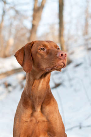 A close-up shot of a female Vizsla dog in the woods in winter.