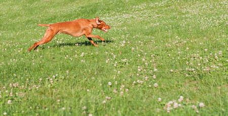 hungarian pointer: A Vizsla dog (Hungarian pointer) runs across a grass covered field. Stock Photo