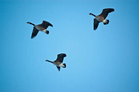 Three Canada Geese (Branta canadensis) in flight.