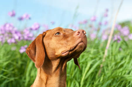 hungarian pointer: A closeup portrait of a Hungarian Vizsla dog with purple wildflowers and green grass in the background,
