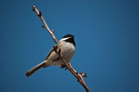 A Black-Capped Chickadee perched on a small branch in winter.