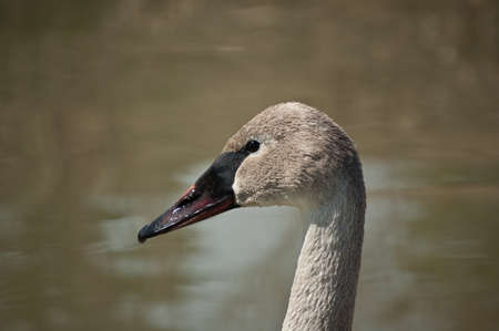 A shot of the head and upper neck of a Trumpeter Swan in profile in front of a pond. photo