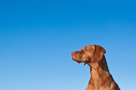 hungarian pointer: The head and neck of a vizsla dog (Hungarian pointer) with a deep blue sky in the background.