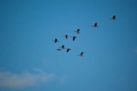 A flock of Canada geese (branta canadensis) fly through a blue sky. photo