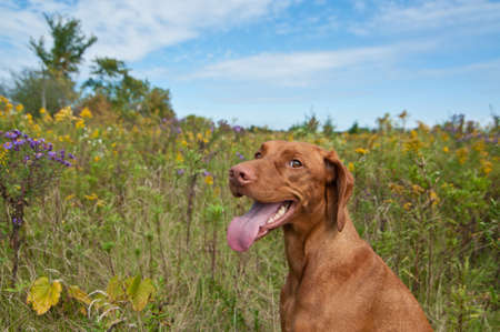 hungarian pointer: A Happy Looking Vizsla Dog (Hungarian Pointer) Standing in a Field with Wild Flowers