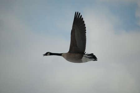 A single Canada goose (Branta canadensis) flies through a cloudy grey sky. photo