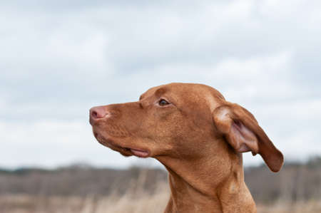 hungarian pointer: A closeup shot of the head of a Vizsla dog (Hungarian Pointer) in a field.