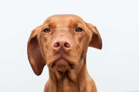 hungarian pointer: A closeup shot of a staring Hungarian Vizsla dog with one ear blowing in the wind and a grey sky in the background