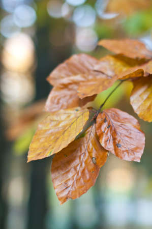 Colorful Beech leaves in the autumn.