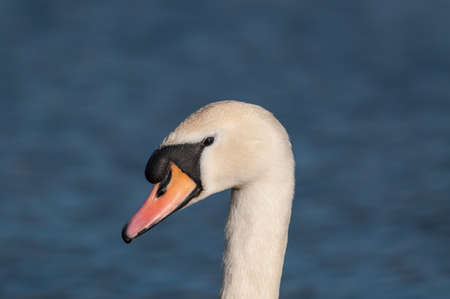 cygnus olor: The head and neck of a Mute swan (cygnus olor) with the blue waters of a pond in the background.