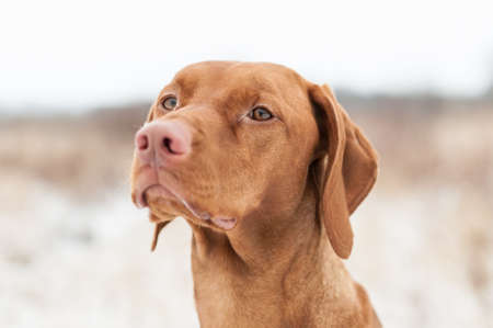 A closeup shot of a Vizsla dog in a field in winter. Stock Photo - 13643603