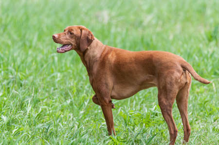 hungarian pointer: A happy looking Vizsla dog (Hungarian pointer) stands in a green field.