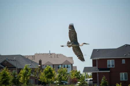 urban wildlife: A Great blue heron flies past brick suburban homes