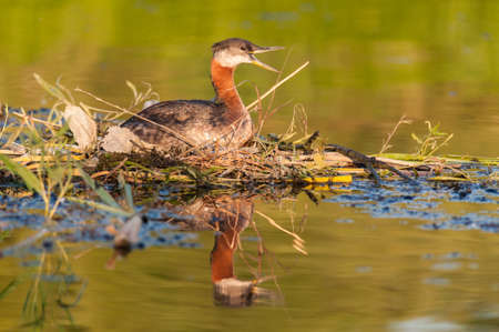 A Red-necked Grebe (Podiceps grisegena) calls to its mate as it sits on its nest in Lake Ontario.
