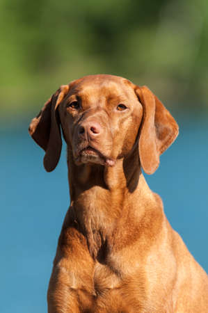 A closeup shot of a Visla dog (Hungarian pointer) with a blue and green background. Stock Photo