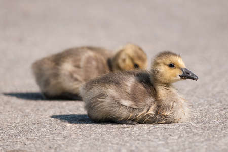 gosling: Two Canada goose goslings sit on a footpath in a public park.