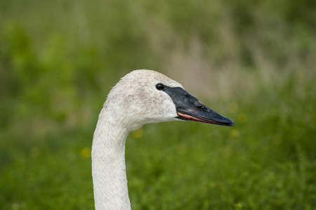 trumpeter swan: The head and neck of a Trumpeter swan. Stock Photo