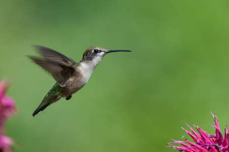 A Ruby-throated hummingbird hovers near the purple petals of a bee balm flower. photo