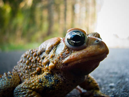 bumpy: A close-up shot of a bumpy toad standing on a footpath.