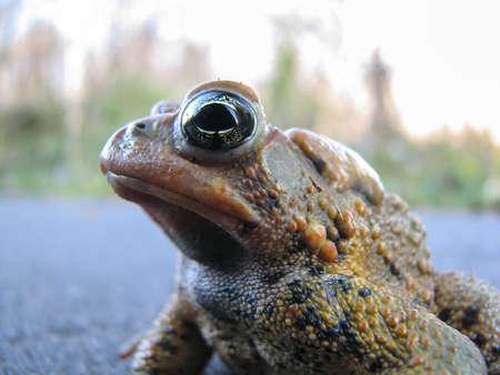 bumpy: A close-up shot of a bumpy toad standing on a footpath  Stock Photo