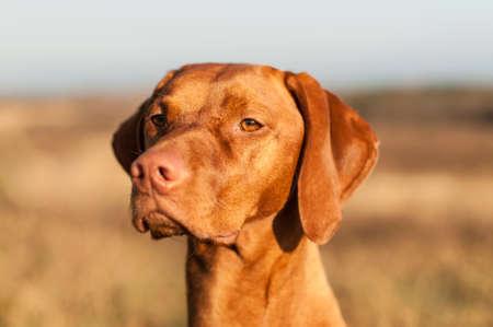 hungarian pointer: A Hungarian pointer  Magyar vizsla  dog stares out across a field  Selective focus