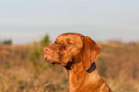 hungarian pointer: A Hungarian pointer (Magyar vizsla) dog stares out across a field.