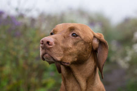 hungarian pointer: A female Vizsla dog (Hungarian Pointer) stares into the distance.