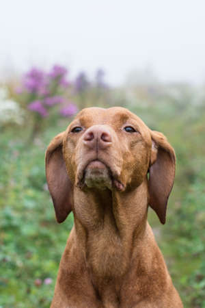 A female Vizsla dog (Hungarian Pointer) stares into the distance while standing in a field. Stock Photo