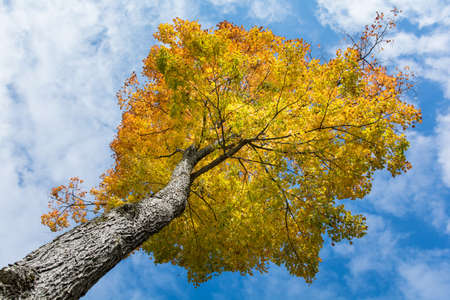A maple tree with yellow and orange leaves in autumn with blue sky
