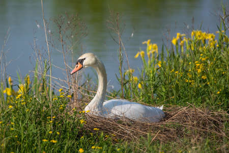 A female Mute swan (Cygnus olor) sits on her eggs in a nest beside a pond.