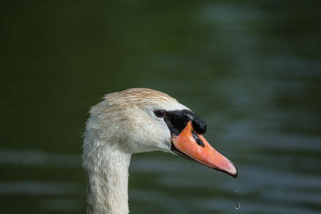 The head of a Mute Swan (Cygnus olor) with drops of water falling from the beak