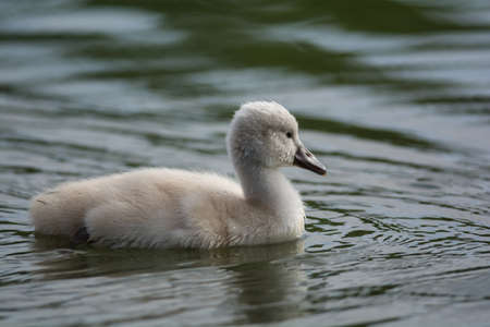 A young Mute swan (Cygnus olor) cygnet swimming on the surface of a pond. Stock Photo