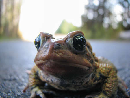 A close-up shot of a bumpy toad standing on a footpath.