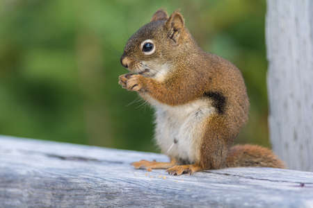 A close-up shot of a red squirrel eating some food Stock Photo