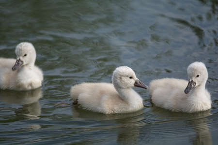 Three young Mute swan (Cygnus olor) cygnets swimming on the surface of a pond. Stock Photo