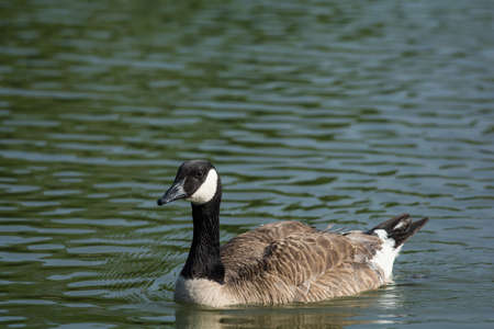 branta: A Canada Goose (Branta canadensis) swims across the surface of a pond.