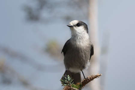 A gray jay (Perisoreus canadensis) perches on a branch in the sunlight.