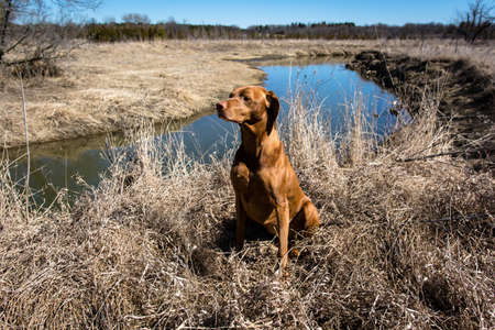 A female Vizsla dog sits on the edge of a creek in a field in spring. Stock Photo