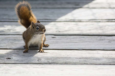A close-up shot of a red squirrel.