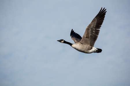 Single Canada Goose in Flight