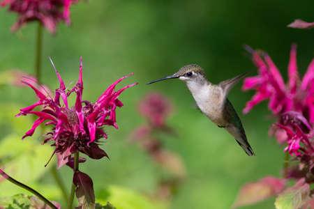 A Ruby-throated hummingbird hovers near a Bee Balm Flower