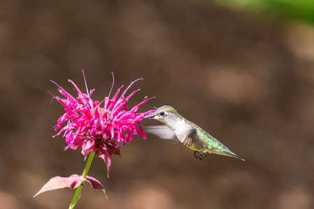 A Ruby-throated hummingbird feeding from a Bee Balm Flower