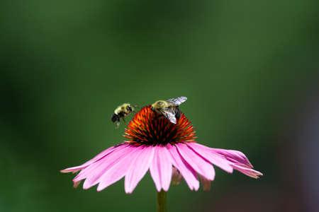 Bees buzzing around on an echinacea flower Reklamní fotografie