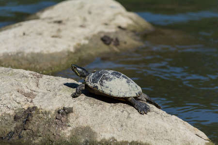 A red-eared slider turtle lies on a rock in a pond in Ontario, Canada. Reklamní fotografie