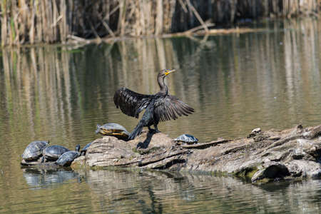 A double-crested cormorant dries its wings as it shares a log with several turtles.